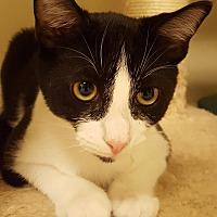 Adopt A Pet :: Bongo Drum - Grayslake, IL