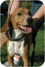 Beagle Mix Dog for adoption in Walker, Michigan - Ace