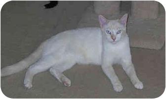 Siamese Cat for adoption in Palmdale, California - Romeo