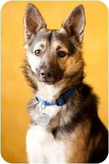 Spitz (Unknown Type, Medium) Mix Dog for adoption in Portland, Oregon - Skip