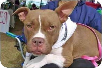 American Pit Bull Terrier/Boxer Mix Dog for adoption in Troy, Michigan - Rose