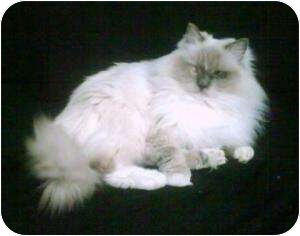 Ragdoll Cat for adoption in Sacramento, California - Piglet