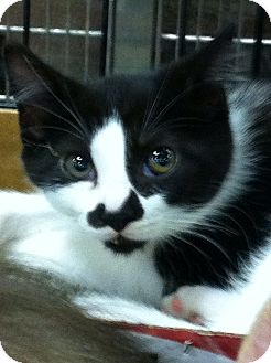 Domestic Shorthair Kitten for adoption in Pittstown, New Jersey - Mou