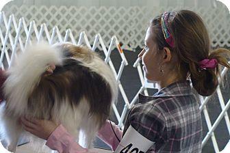 Pomeranian Mix Dog for adoption in farmingville, New York - dusty