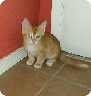 Domestic Shorthair Kitten for adoption in Phoenix, Arizona - Benjamin