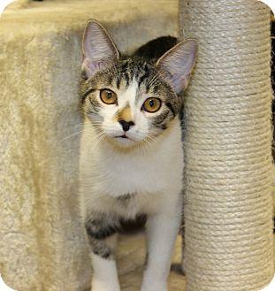 Domestic Shorthair Kitten for adoption in Seville, Ohio - Karla