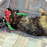 Adopt A Pet :: Maribelle - Orlando, FL