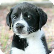 Collie/Corgi Mix Puppy for adoption in Austin, Texas - Bugatti