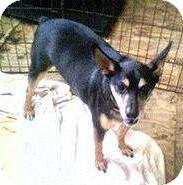 Miniature Pinscher Dog for adoption in Moulton, Alabama - Rambo