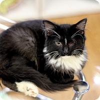 Adopt A Pet :: Diane Kitten - Chicago, IL
