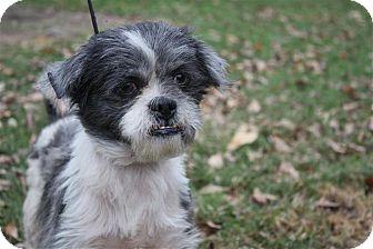 Shih Tzu Dog for adoption in Conway, Arkansas - Booger