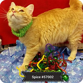 Domestic Mediumhair Cat for adoption in Diamond Springs, California - Spice