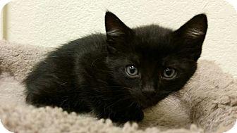 Domestic Mediumhair Kitten for adoption in Phoenix, Arizona - Tanglefoot