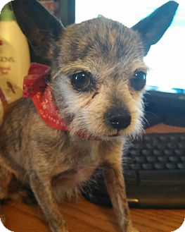 Terrier (Unknown Type, Small)/Chihuahua Mix Dog for adoption in temecula, California - Tiny