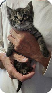 Domestic Shorthair Kitten for adoption in Freeport, New York - Lionel