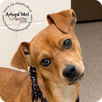 Miniature Pinscher/Chihuahua Mix Dog for adoption in Troy, Ohio - Rusty