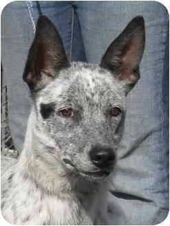 Australian Cattle Dog Mix Dog for adoption in Rolling Hills Estates, California - Cola