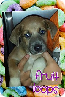 Shepherd (Unknown Type) Mix Dog for adoption in House Springs, Missouri - froot loops