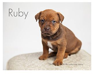 Boxer/Labrador Retriever Mix Puppy for adoption in Brattleboro, Vermont - Ruby