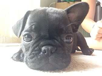 French Bulldog/Pug Mix Puppy for adoption in west hollywood, California - Coco