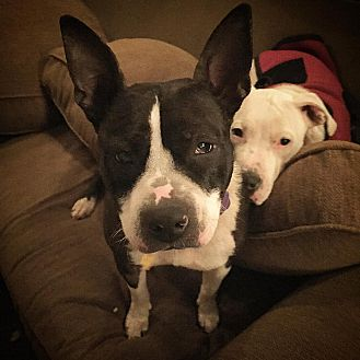 American Staffordshire Terrier/Staffordshire Bull Terrier Mix Dog for adoption in Chicago, Illinois - Esme