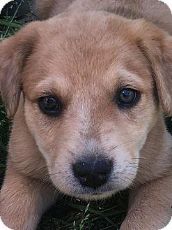 Anatolian Shepherd Mix Puppy for adoption in Medina, Tennessee - Tonya