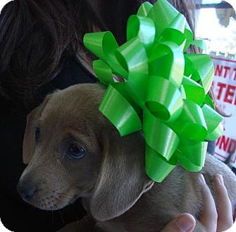 Dachshund Mix Puppy for adoption in Erwin, Tennessee - Bell