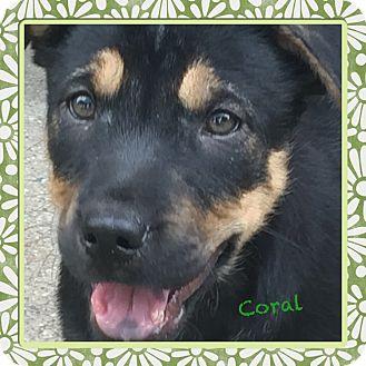 Rottweiler/German Shepherd Dog Mix Puppy for adoption in Newport, Michigan - Coral