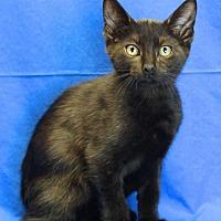 Domestic Shorthair Kitten for adoption in Winston-Salem, North Carolina - Raider