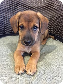Hound (Unknown Type) Mix Puppy for adoption in Wilmington, Delaware - Alexis