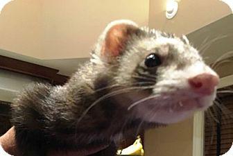 Ferret for adoption in Hartford, Connecticut - Diesel