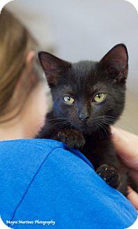 Domestic Shorthair Kitten for adoption in Chattanooga, Tennessee - Onyx