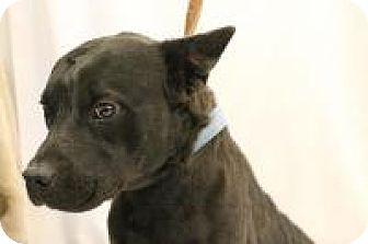 Australian Cattle Dog/Chow Chow Mix Dog for adoption in Huachuca City, Arizona - Carl