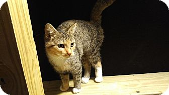 Domestic Shorthair Cat for adoption in Exton, Pennsylvania - Anna (Foster)