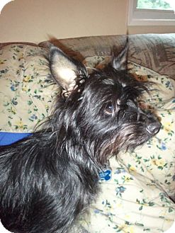 Terrier (Unknown Type, Small) Mix Dog for adoption in Vancouver, Washington - Sonny
