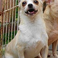 Chihuahua Dog for adoption in Festus, Missouri - #50 Antonio