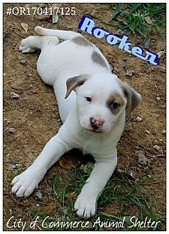 Terrier (Unknown Type, Small) Mix Puppy for adoption in Commerce, Texas - Rooker