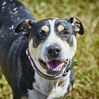 Adopt A Pet :: Lola - Petaluma, CA