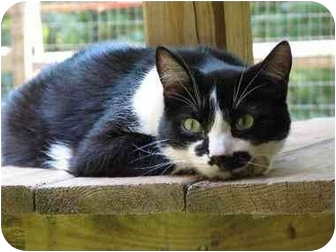 Domestic Shorthair Cat for adoption in Columbia, Maryland - Mr. Marx & Cosby