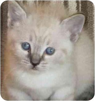 Ragdoll Kitten for adoption in Davis, California - Olivia