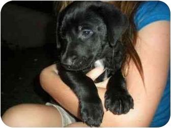 Labrador Retriever Puppy for adoption in San Diego, California - PUPPY MILAN