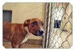 American Pit Bull Terrier Mix Puppy for adoption in North Charleston, South Carolina - Brantly