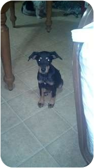Doberman Pinscher Mix Puppy for adoption in Hammonton, New Jersey - levi