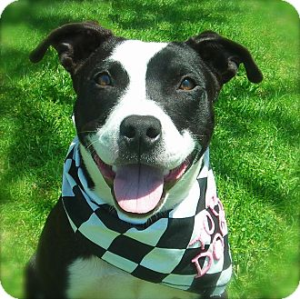 American Pit Bull Terrier Mix Dog for adoption in El Cajon, California - Peaches