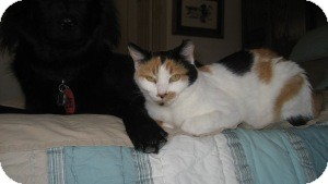 Domestic Shorthair Cat for adoption in Tempe, Arizona - Kelly