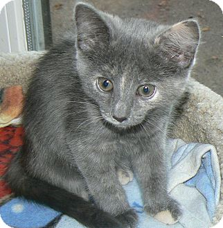 Russian Blue Kitten for adoption in Clarksville, Indiana - Brenda