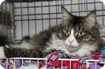 Domestic Longhair Cat for adoption in Lombard, Illinois - Harry