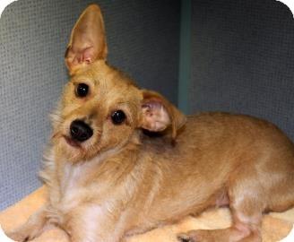 Terrier (Unknown Type, Small) Mix Dog for adoption in Philadelphia, Pennsylvania - Sassy