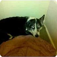 Adopt A Pet :: Dazzle - Murfreesboro, TN