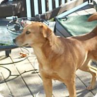 Labrador Retriever/Hound (Unknown Type) Mix Dog for adoption in Raleigh, North Carolina - BECCA